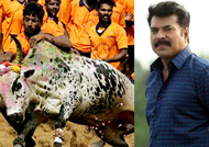 Mammootty says 'Jallikattu Agitation' is against privatization