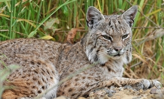 Brave woman strangles and kills rabid bobcat