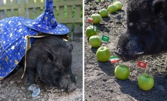 After Trump, mystic pig chooses FIFA World Cup semifinalists!